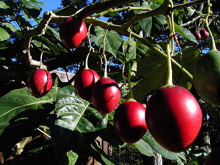 tamarillo-o-tomate-das-arvores