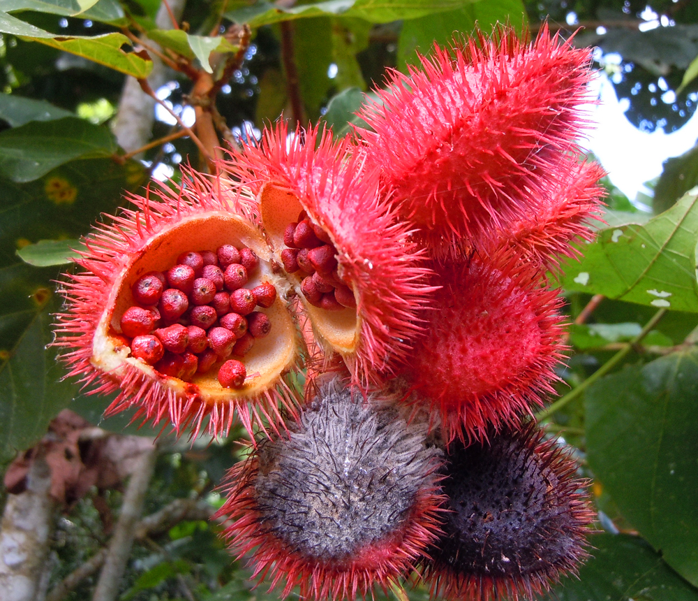 achiote-mature-pods-and-seeds-3-1000-px