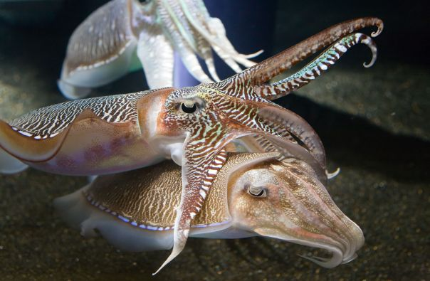 Georgia_Aquarium_-_Cuttlefish_Jan_2006